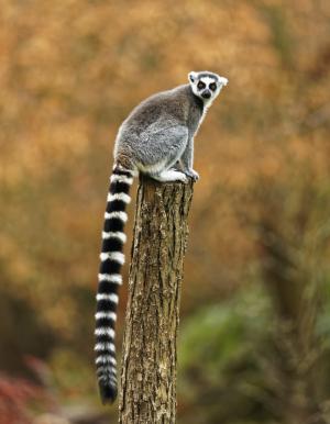Lemuriformes Gregory